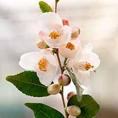 Camellia rosthorniana 'Cupido'