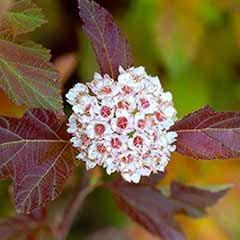 Physocarpus opulifolius 'Burning Embers' Ninebark