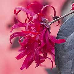 Pair Loropetalum 'EverRed' Chinese Witch Hazel