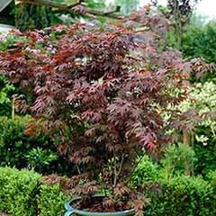 Acer palmatum 'Atropurpureum' Japanese Maple