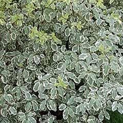 Pittosporum variegata standard 1m