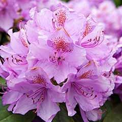 Hardy Azalea 'Lilac Dream' Standard