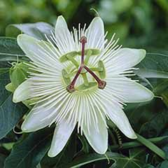 Passiflora Riverside (R) 'Snow Queen'
