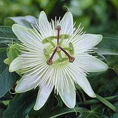 Passiflora Riverside (R) 'Snow Queen'