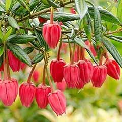 Chilean Lantern Tree Crinodendron hookerianum 'Ada Hoffman'