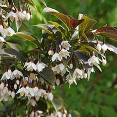 Styrax japonica 'Evening Light' Japanese Snowbell