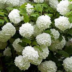 Viburnum opulus 'Roseum' Snowball Tree