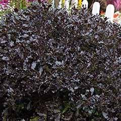 Pittosporum tenuifolium 'Tom Thumb'