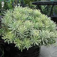 Euphorbia characias  Spurge 'Silver Swan'