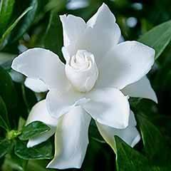 Hardy Gardenia jasminoides 'Celestial Star'