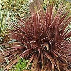 New Zealand Flax Phormium 'Amazing Red'