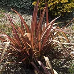 New Zealand Flax Phormium 'Evening Glow'