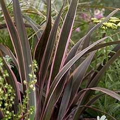 Flax Lily Phormium tenax 'Sundowner'