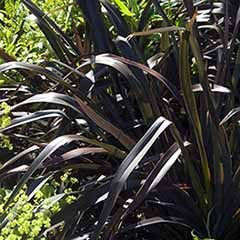 New Zealand Flax Phormium 'Platt's Black'
