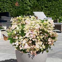 Hydrangea paniculata Switch 'Ophelia' (R)