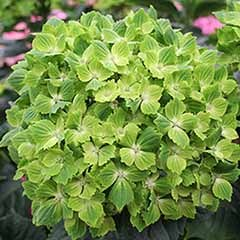 Hydrangea macrophylla 'Rhapsody'