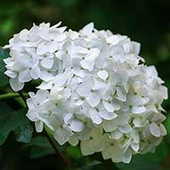 Mophead Hydrangea macrophylla 'Madame Emile Mouillere'