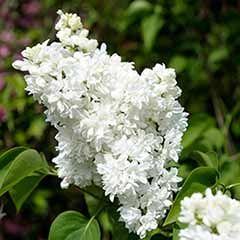 French Lilac Syringa vulgaris 'Madame Lemoine'