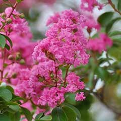 Pink Crepe Myrtle Lagerstroemia