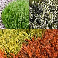 Summer Flowering Heather Mix