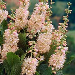 Summersweet Clethra alnifolia 'Pink Spire'