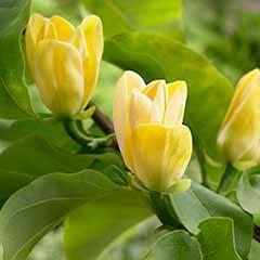 Magnolia × brooklynensis 'Yellow Bird'