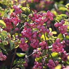 Snowberry Symphoricarpus doorenbosii 'Magical Candy'