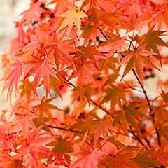 Japanese Maple, Acer palmatum 'Phoenix'