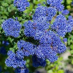 Ceanothus thyrs. repens Set of 3 x 9cm