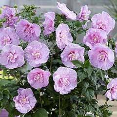 Hibiscus syr.Lavender Chiffon