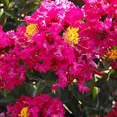 Crepe Myrtle Lagerstroemia 'Rouge'