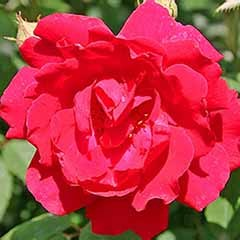 Climbing Rose 'Paul's Scarlet'
