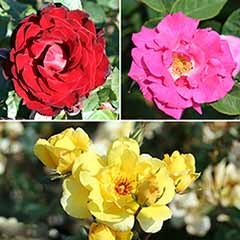 Climbing Rose Collection