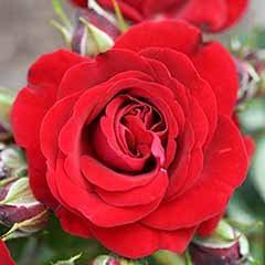 Gift Rose 'Ruby Anniversary'