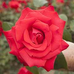 Gift Rose 'My Valentine'