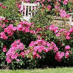 Groundcover Rose 'Flower Carpet Pink'