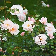 Mini Climbing Rose 'Little Rambler' 3L