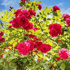 Mini Climbing Rose 'Ruby Rambler' 3L