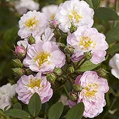 Pair of Mini Rambling Roses