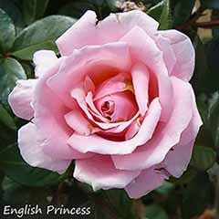 Premium Potted English Rose Collection