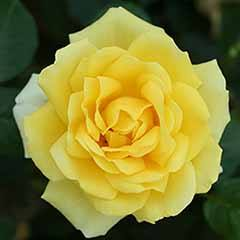Rose 'Guy's Gold'