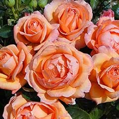 Rose of the Year 2014 'Lady Marmalade'