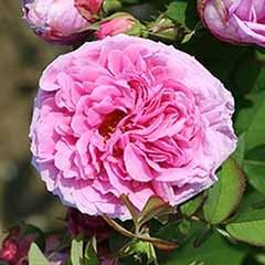 Rose 'Comte de Chambord'