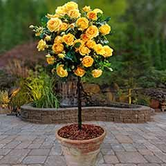 Pair of Patio Standard Roses - Yellow