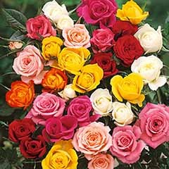50% Off 'Best Ever' Rose Collection £9.99 Plus £6.99 P&P