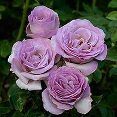 Half Standard Rose 'Blue Beauty'
