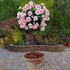 Pair of Pink Patio Standard Roses Potted 3L