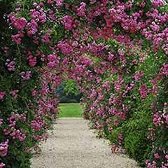 Pair of 3L Fragrant Climbing Roses with Decorative Garden Arch Support