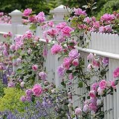 Pair of Pink Climbing Roses on Trellis