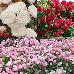 'Classic' Groundcover Rose Collection